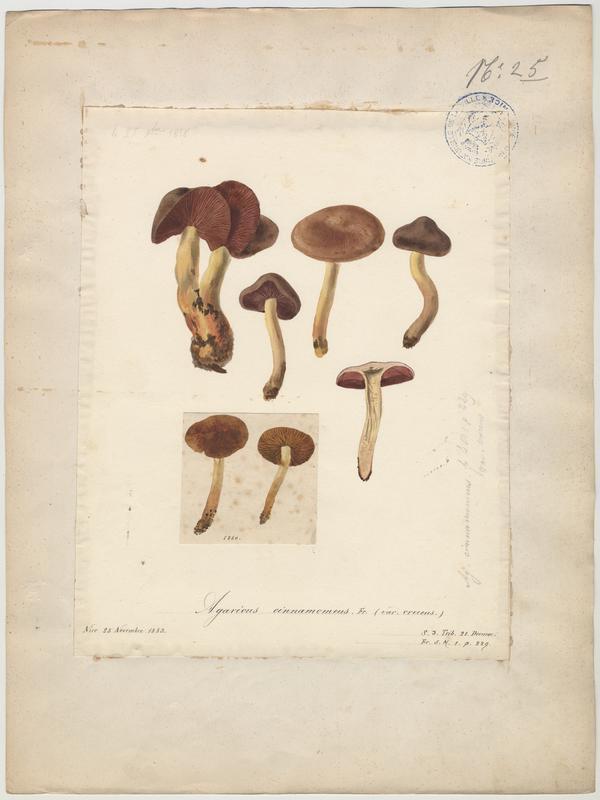 Cortinaire jaune ; Cortinaire safrané ; champignon