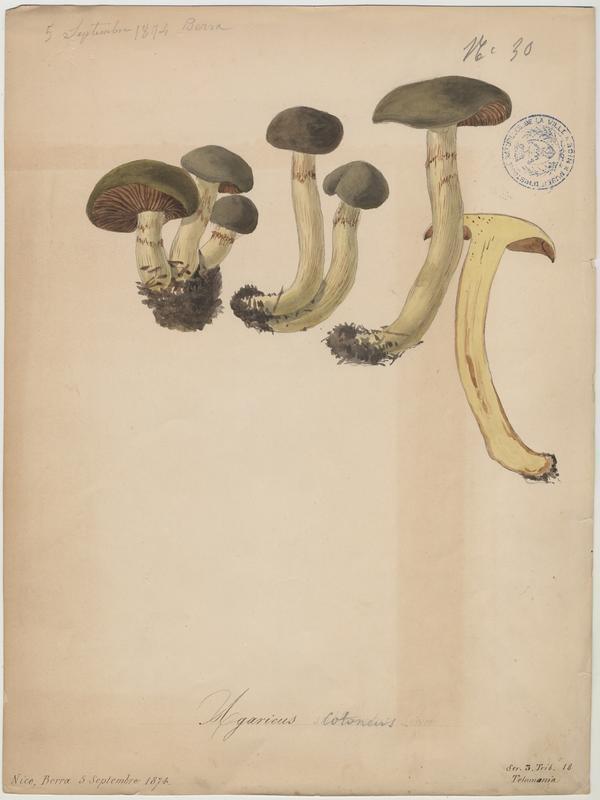 Agaric cotonneux ; champignon_0