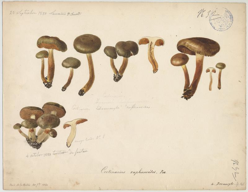 Cortinaire brun-jaune olivacé ; champignon_0
