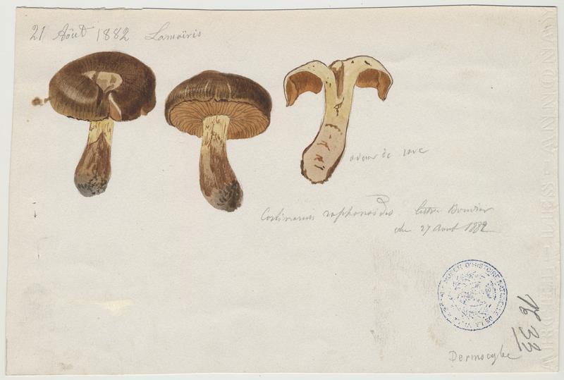 Cortinaire brun-jaune olivacé ; champignon
