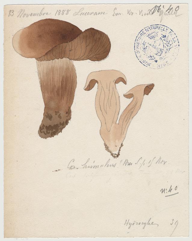 Cortinaire couleur de faon ; champignon_0