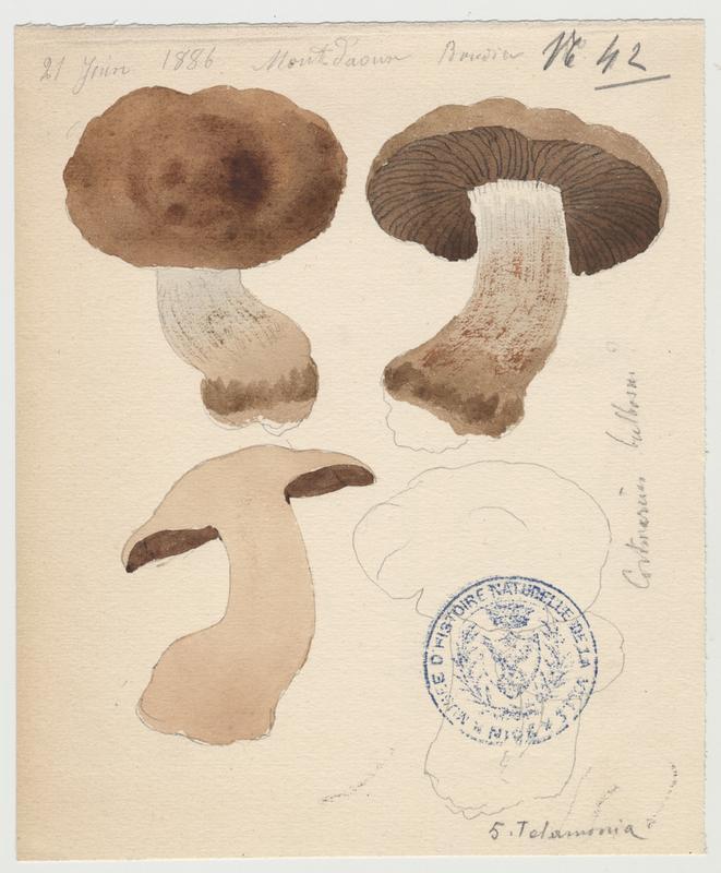 Cortinaire bulbeux ; champignon