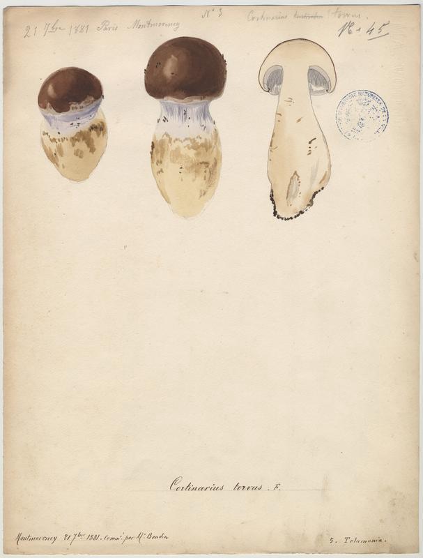 Cortinaire odorant ; Cortinaire à chaussette ; champignon_0
