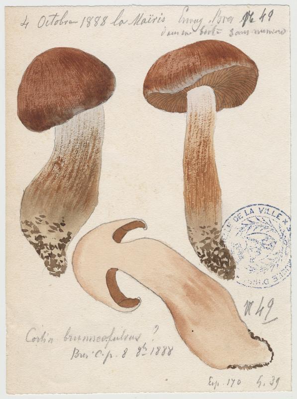 Cortinaire  ; champignon