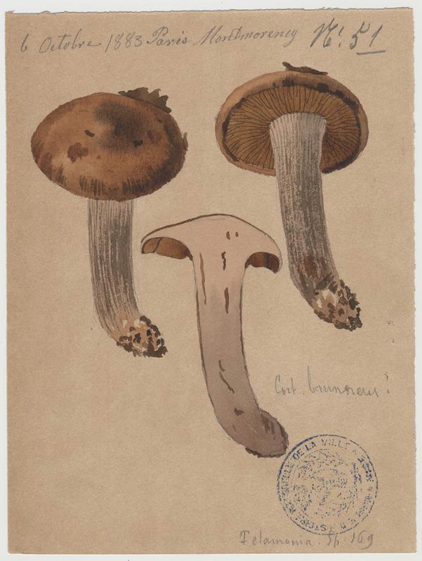 Cortinaire brun ; champignon_0