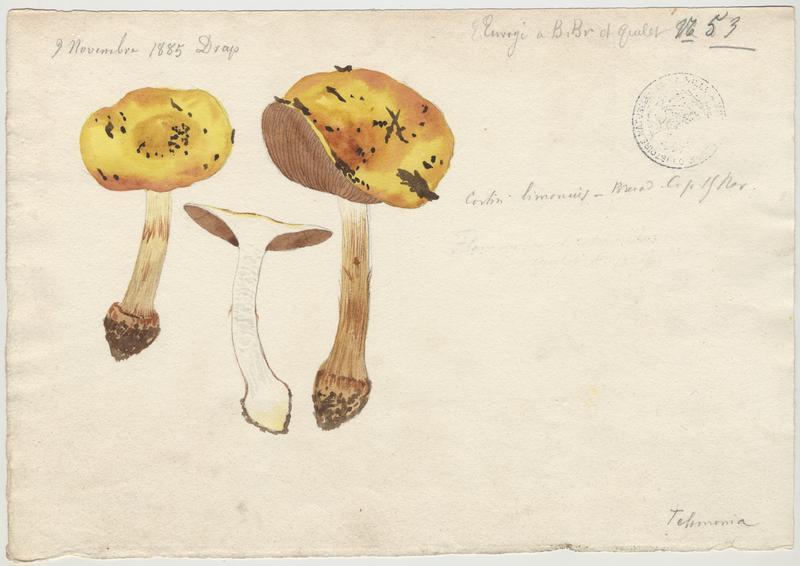 Cortinaire citron ; champignon_0