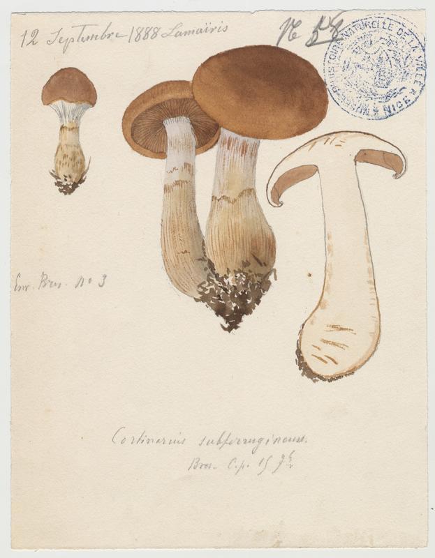 Cortinaire brun roux ; champignon