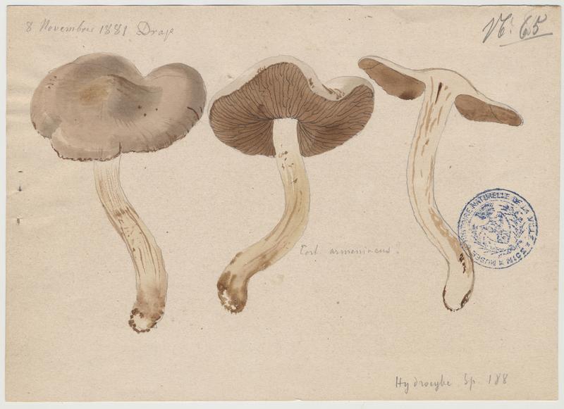 Cortinaire abricot ; Cortinaire brun orangé ; champignon