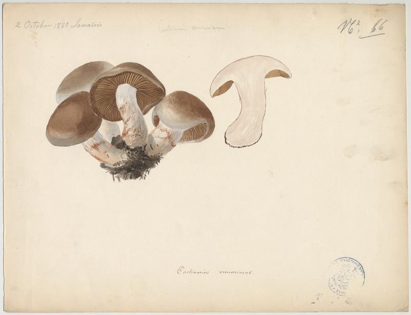 Cortinaire abricot ; Cortinaire brun orangé ; champignon_0