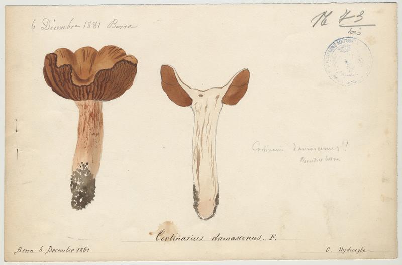 Cortinaire fascicule ; champignon_0