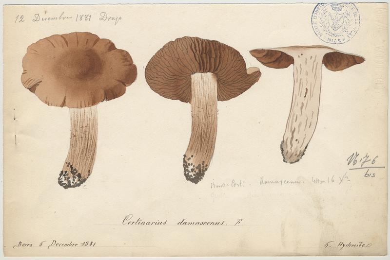Cortinaire fascicule ; champignon