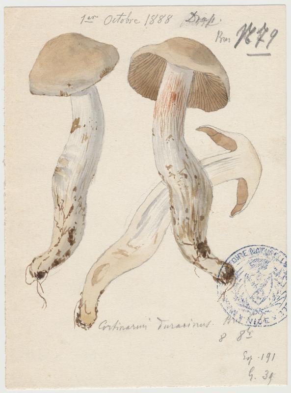 Cortinaire à pied dur ; champignon_0