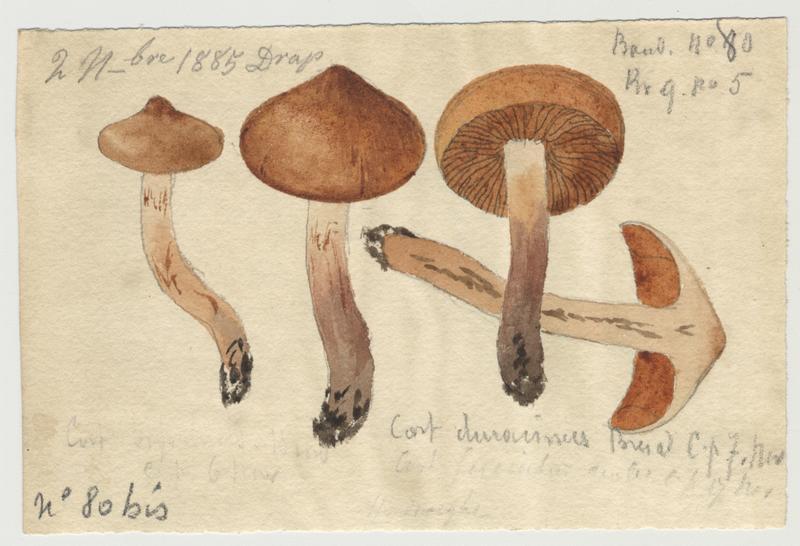 Cortinaire à pied dur ; champignon