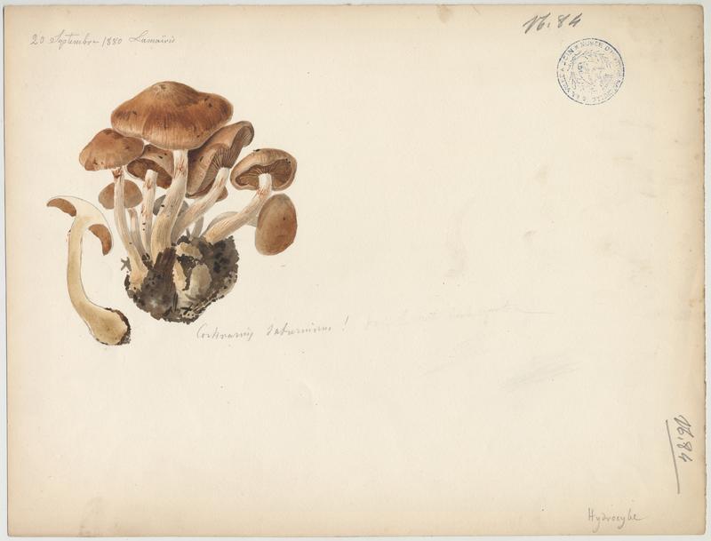 Cortinaire à chair violacée ; champignon