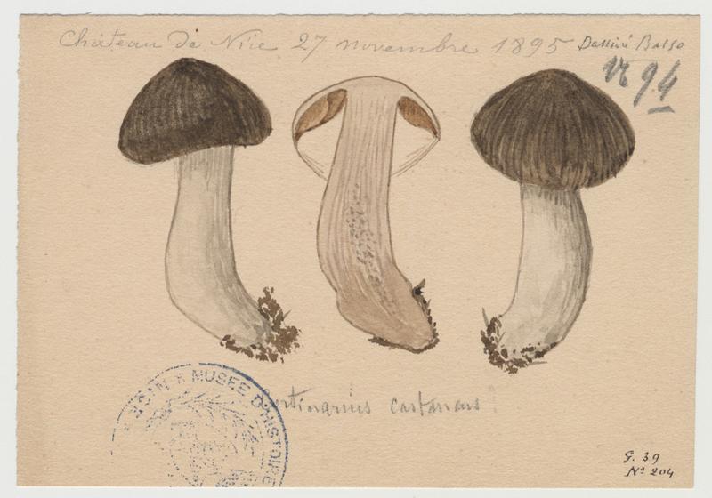 Cortinaire châtain ; champignon_0