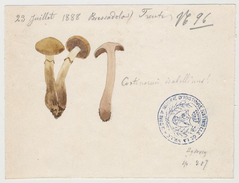 Cortinaire isabelle ; champignon_0