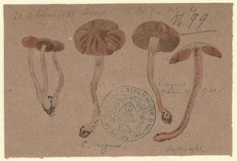 Cortinaire rigide ; champignon