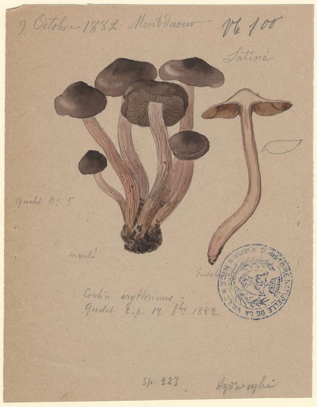 Cortinaire à pied rosâtre ; champignon