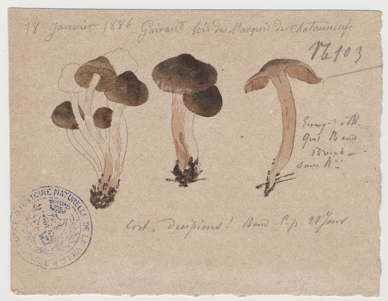 Cortinaire trompeur ; Cortinaire douteux ; champignon