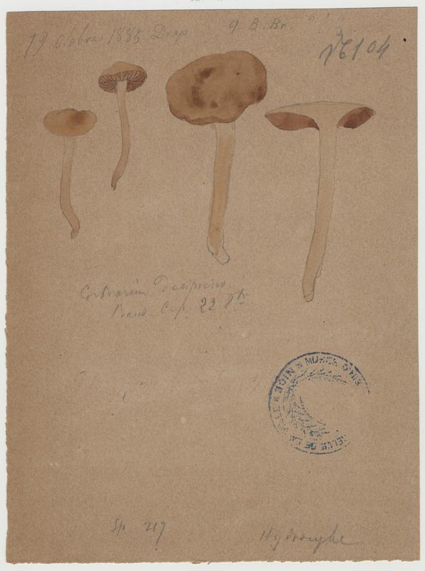 Cortinaire trompeur ; Cortinaire douteux ; champignon_0