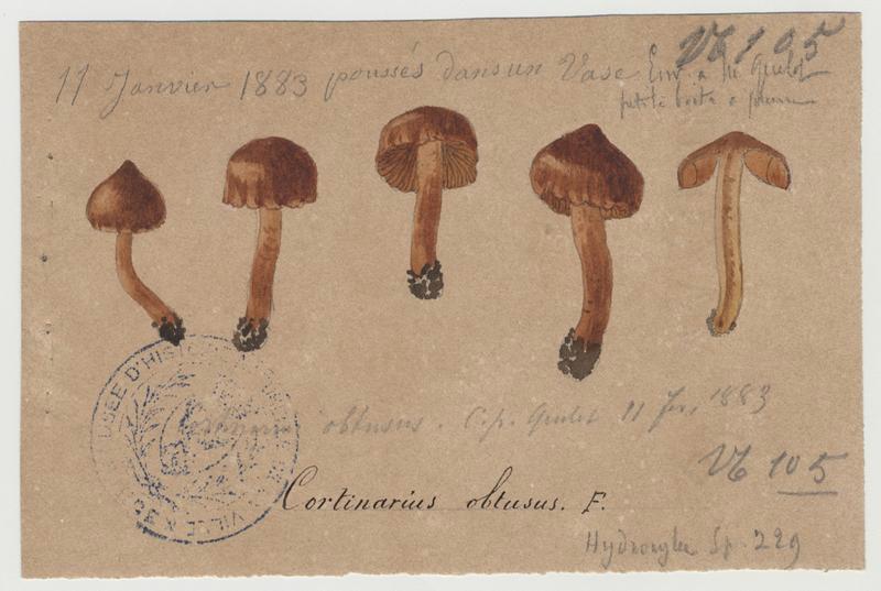 Cortinaire obtus ; Cortinaire à odeur iodée ; champignon_0