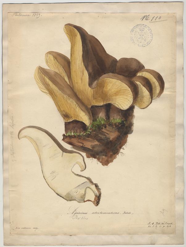 Paxille à pied noir ; champignon