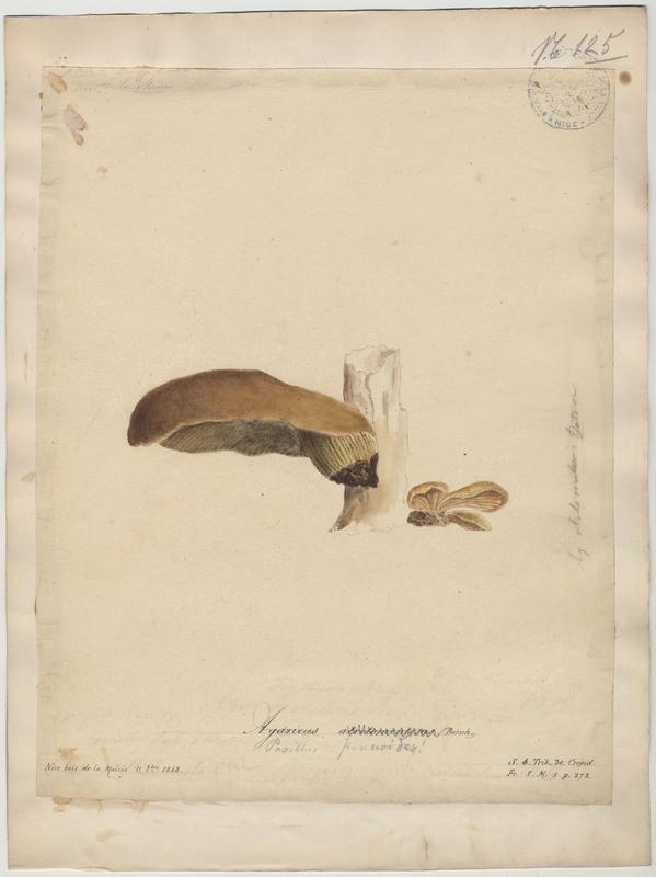 Paxille à pied noir ; champignon_0