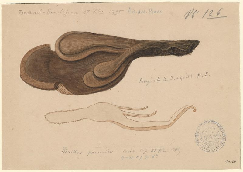 Paxille faux Panus ; champignon_0