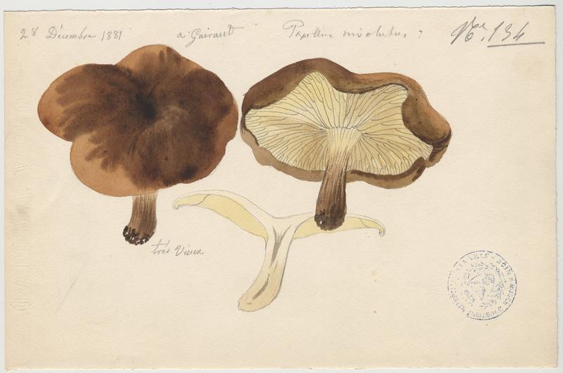 Paxille enroulé ; Chanterelle brune ; champignon_0