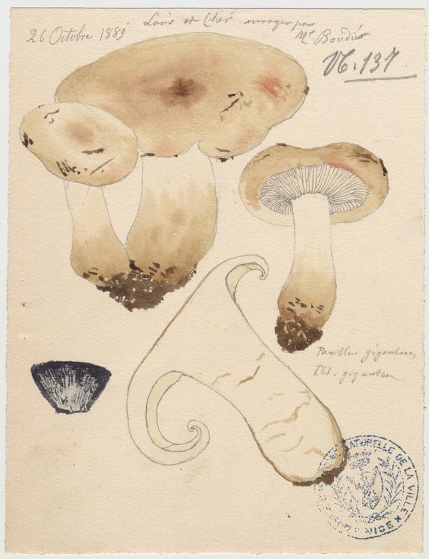 Paxille géant (?) ; champignon_0
