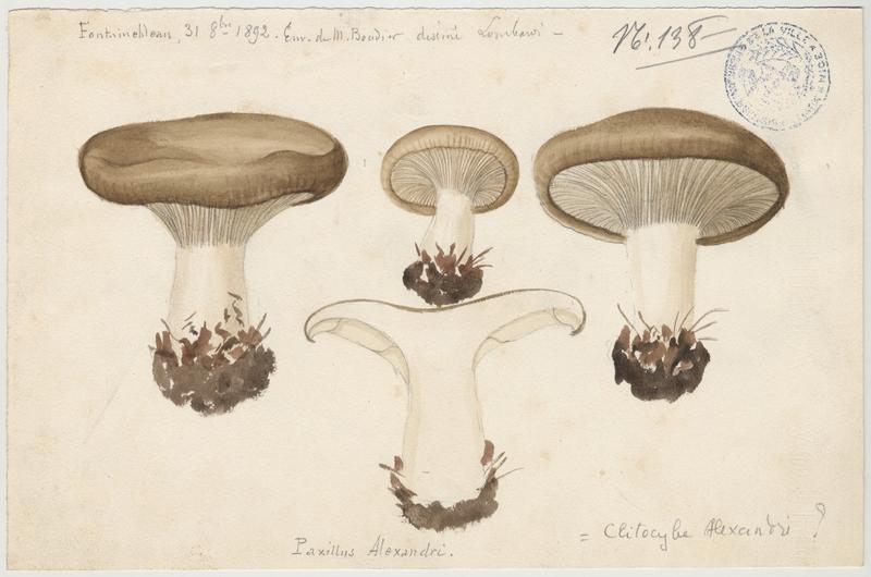 Paxille ; champignon_0