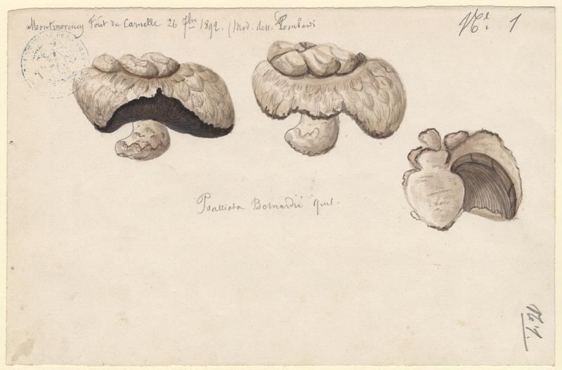 Psalliote des prés salés ; Psalliote de Bernard ;  champignon_0