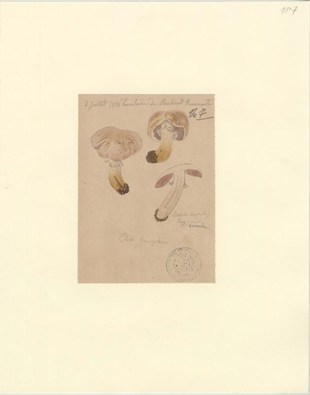 Psalliote champêtre ; Rosé-des-prés ; Agaric champêtre ; Agaric des prés ; Pratelle ; champignon_0