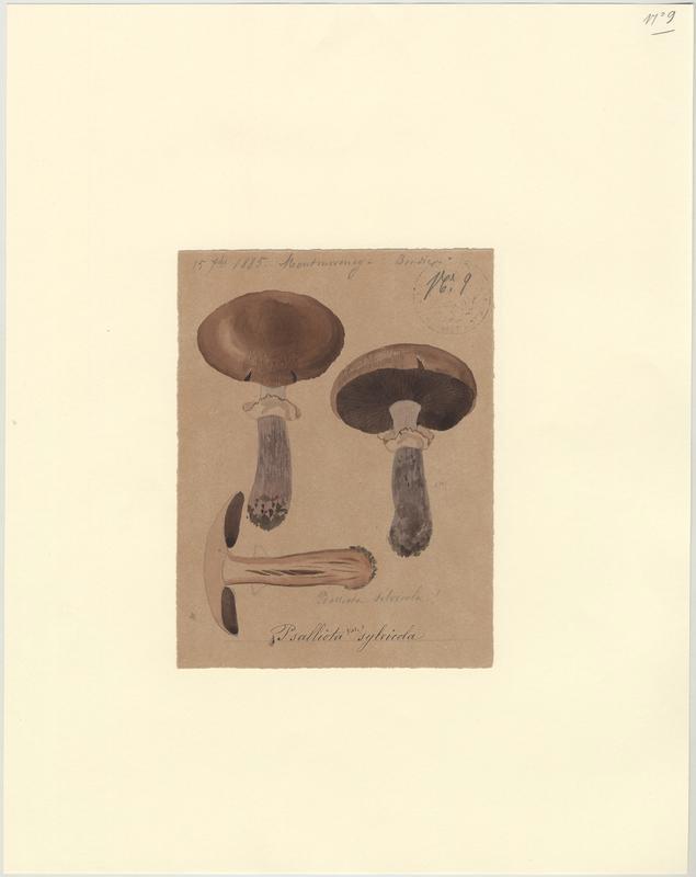 Rosé des bois ;  Agaric sylvicole ;  Agaric des bois ; champignon