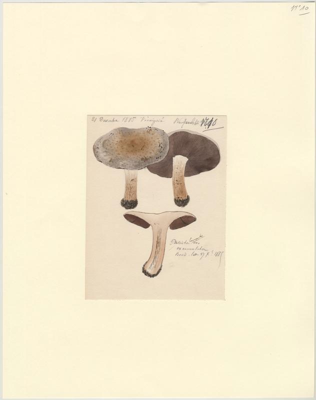 Psalliote champêtre (?) ;champignon