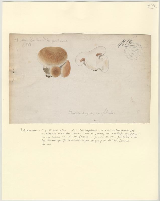Psalliote champêtre (?) ; champignon_0