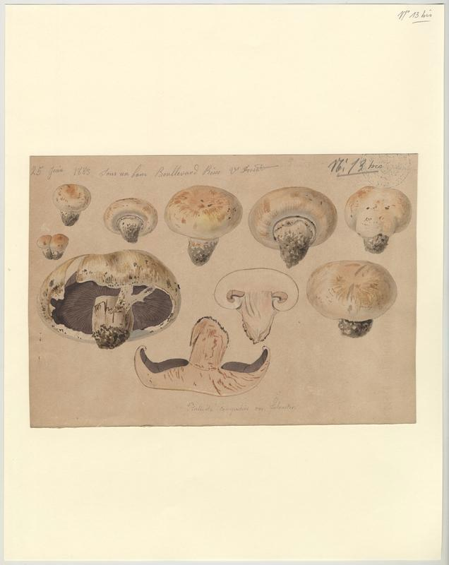 Psalliote champêtre (?) ; champignon