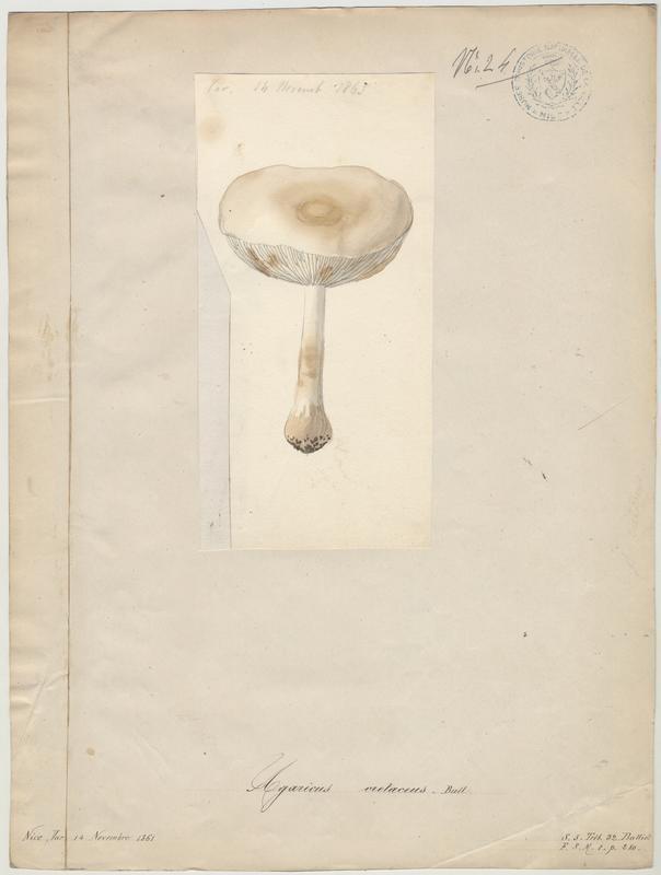 Lépiote couleur de craie (?) ; champignon_0