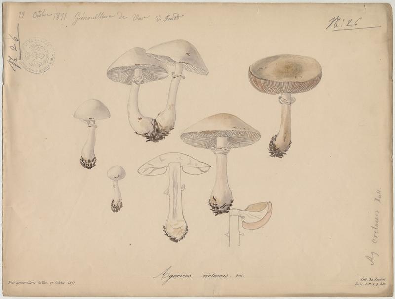 Lépiote couleur de craie (?) ; champignon
