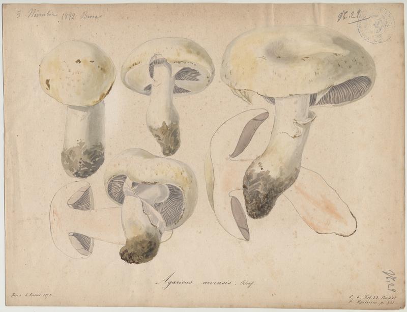 Psalliote des jachères ; Agaric des jachères ; champignon_0