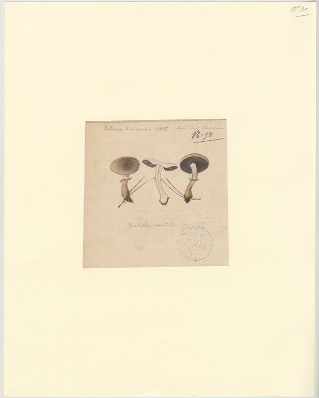 Pratelle ; Agaric ; champignon_0