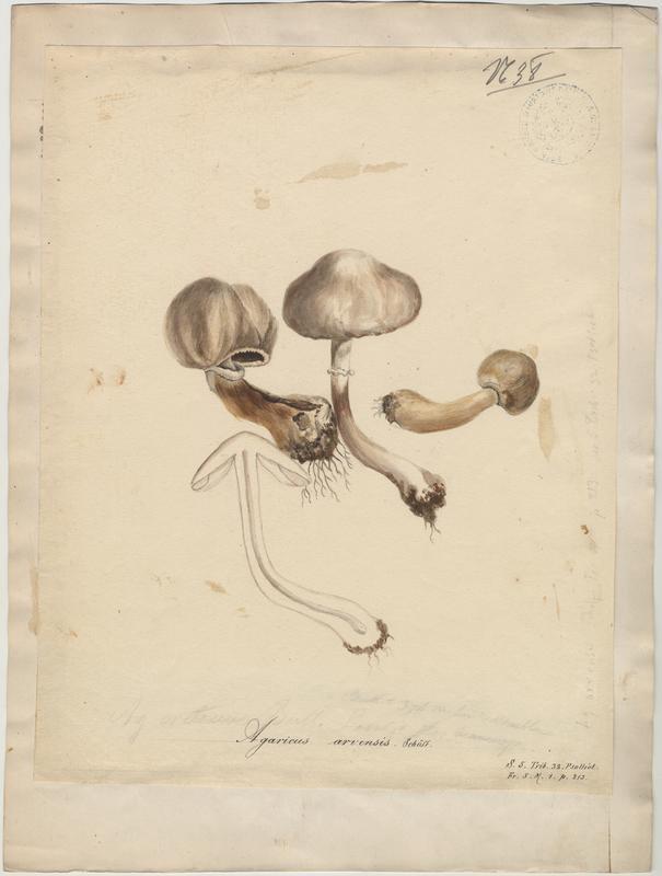 Psalliote des jachères ;  Agaric des jachères ; champignon
