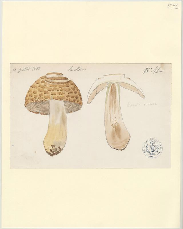 Psalliote impériale ; Agaric auguste ; Agaric impérial ; champignon