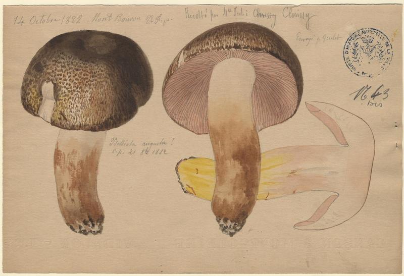 Psalliote impériale ; Agaric auguste ; Agaric impérial ; champignon_0