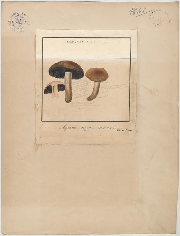Psalliote champêtre ; Rosé-des-prés ; Agaric champêtre ; Agaric des prés ; Pratelle ; champignon