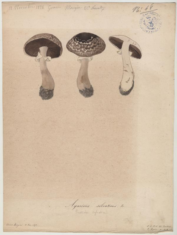 Psalliote des forêts ; Agaric sylvatique ; champignon_0