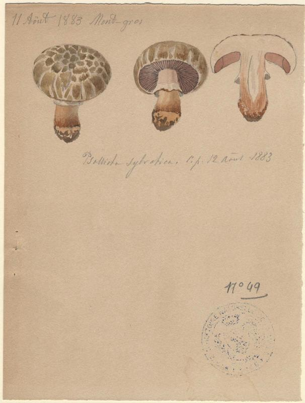 Agaric sylvatique ; Agaric des forêts ; champignon_0