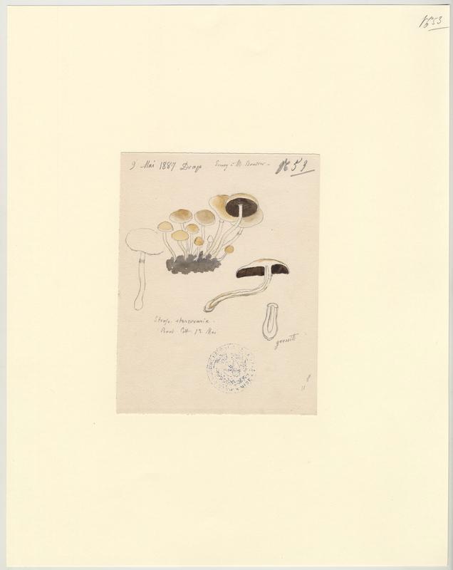 Strophaire hémisphérique ; champignon