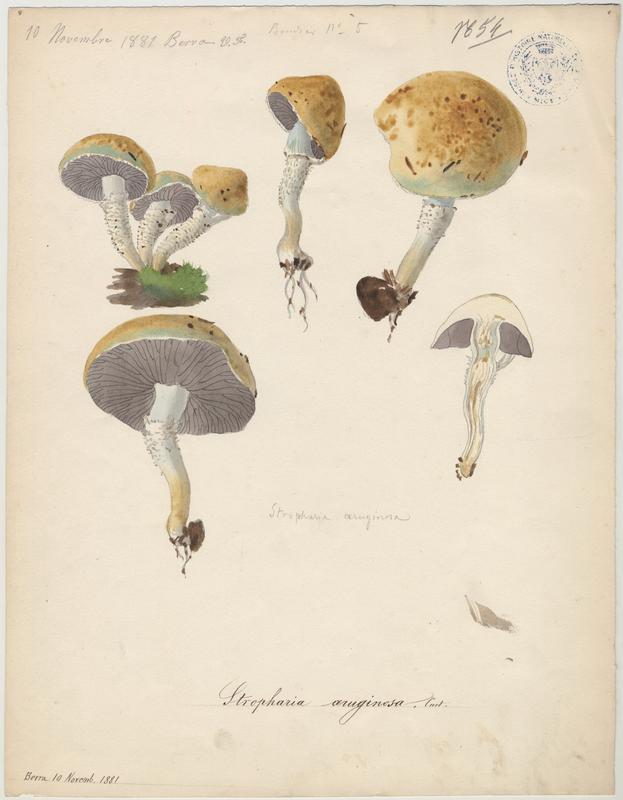 Strophaire vert-de-gris ; champignon