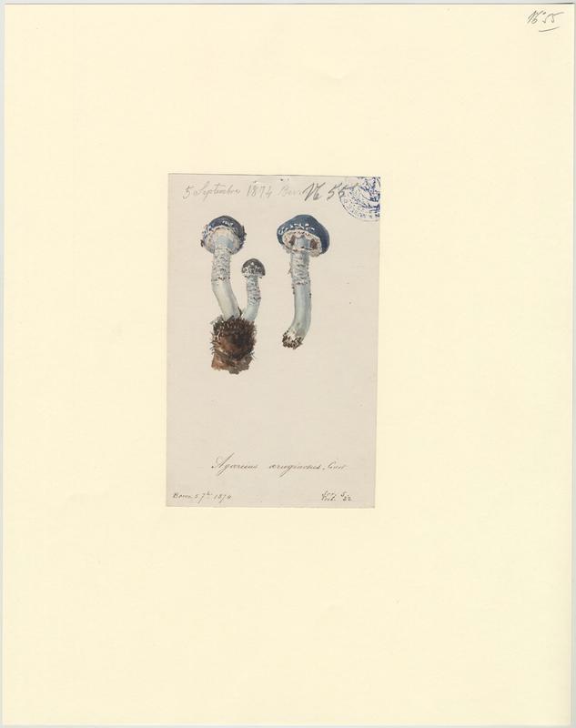 Strophaire vert-de-gris ; champignon_0
